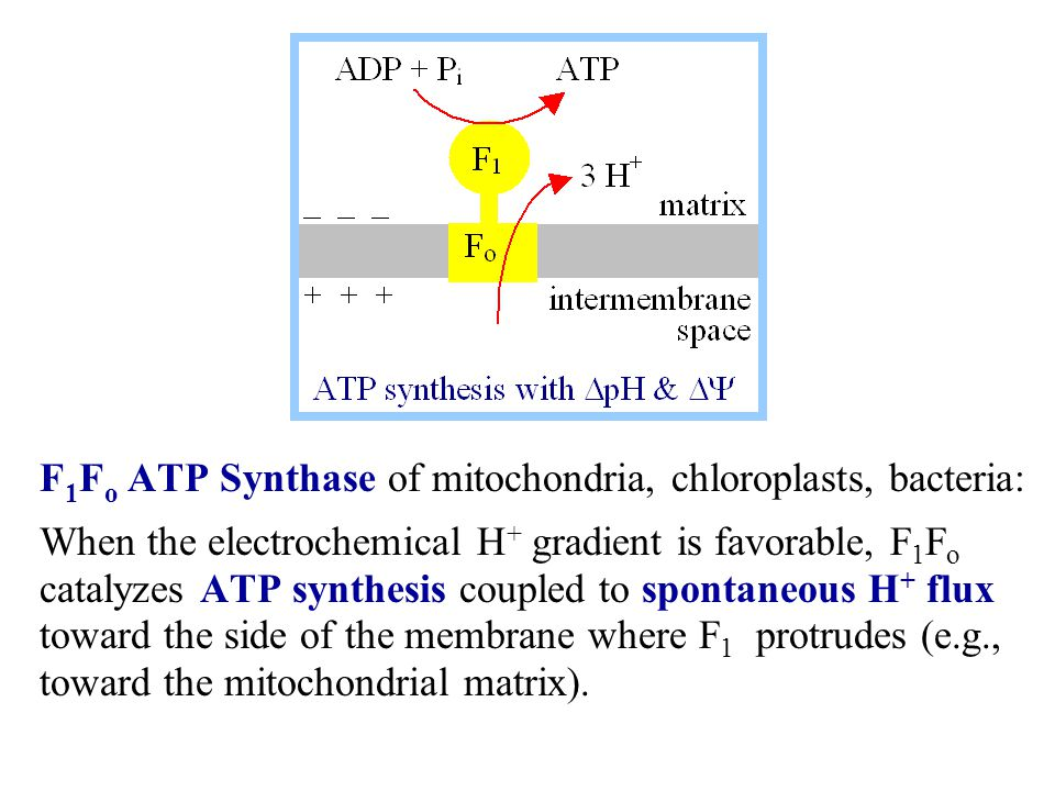 F 1 F o ATP Synthase of mitochondria, chloroplasts, bacteria: When the electrochemical H + gradient is favorable, F 1 F o catalyzes ATP synthesis coupled to spontaneous H + flux toward the side of the membrane where F 1 protrudes (e.g., toward the mitochondrial matrix).