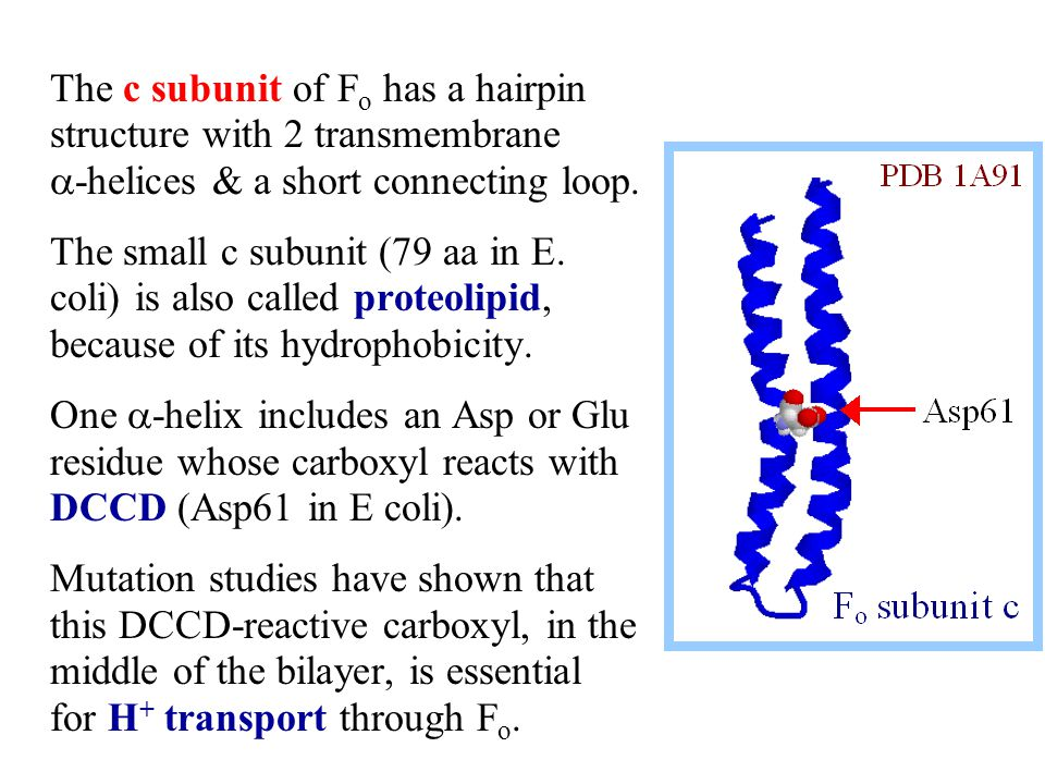 The c subunit of F o has a hairpin structure with 2 transmembrane  -helices & a short connecting loop.