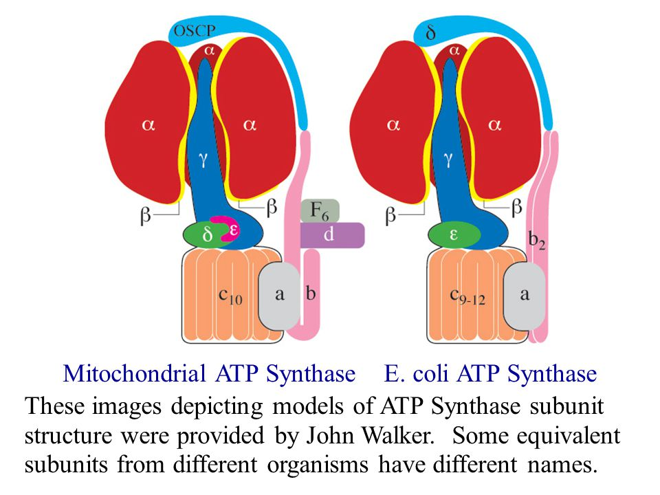 Mitochondrial ATP Synthase E.