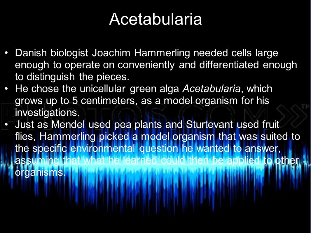 Acetabularia Individuals of the genus Acetabularia have distinct foot, stalk, and cap regions; all are differential parts of a single cell.
