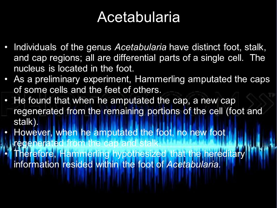 Acetabularia Individuals of the genus Acetabularia have distinct foot, stalk, and cap regions; all are differential parts of a single cell. The nucleu