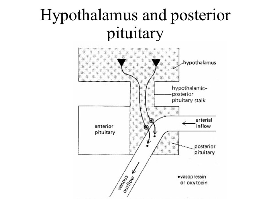 Hypothalamus and posterior pituitary