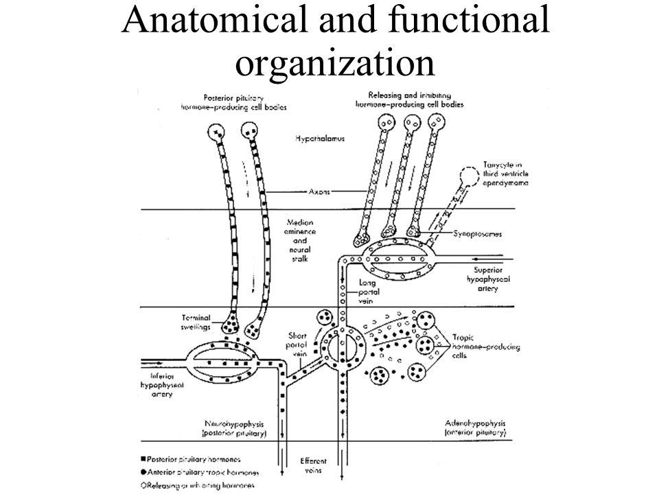 Hypothalamic releasing factors for anterior pituitary hormones  Travel to adenohypophysis via hypophyseal-portal circulation  Travel to specific cells in anterior pituitary to stimulate synthesis and secretion of trophic hormones