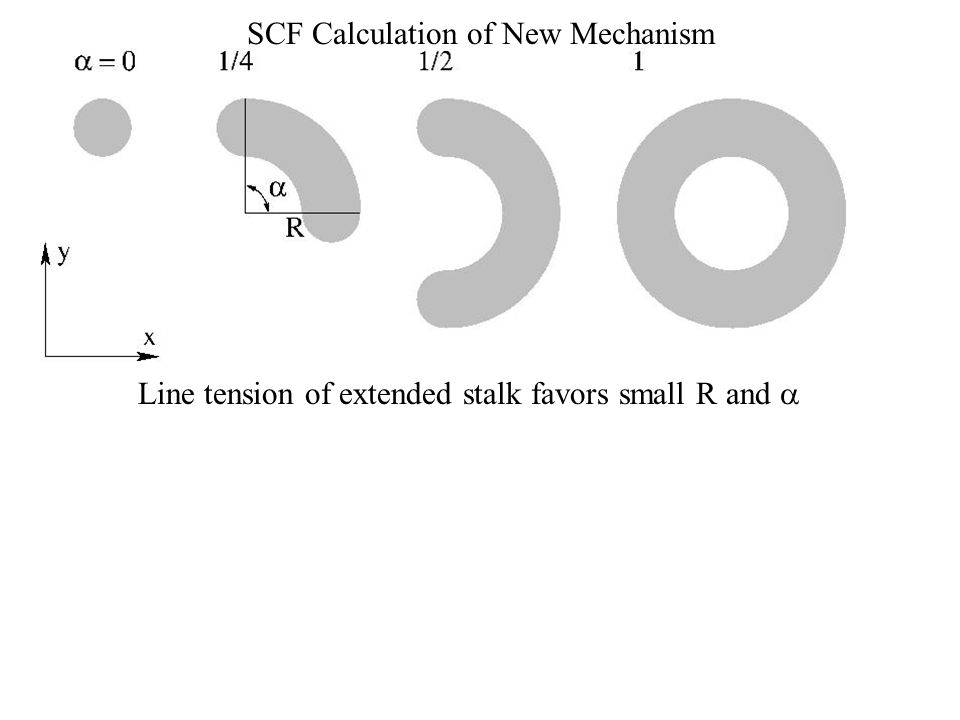 SCF Calculation of New Mechanism Line tension of extended stalk favors small R and 