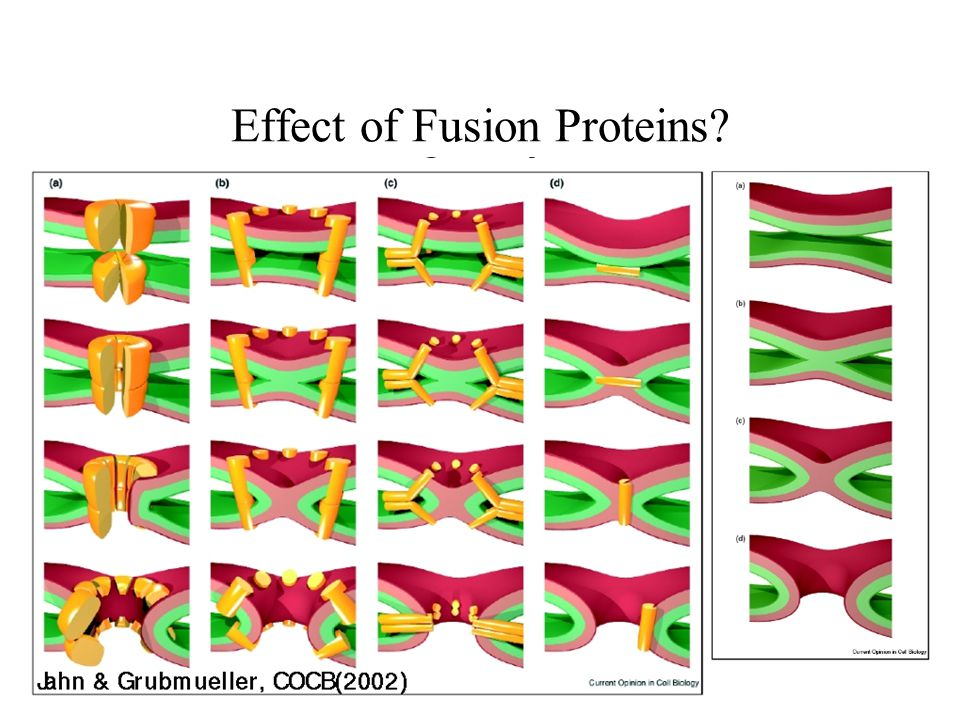 Effect of Fusion Proteins?