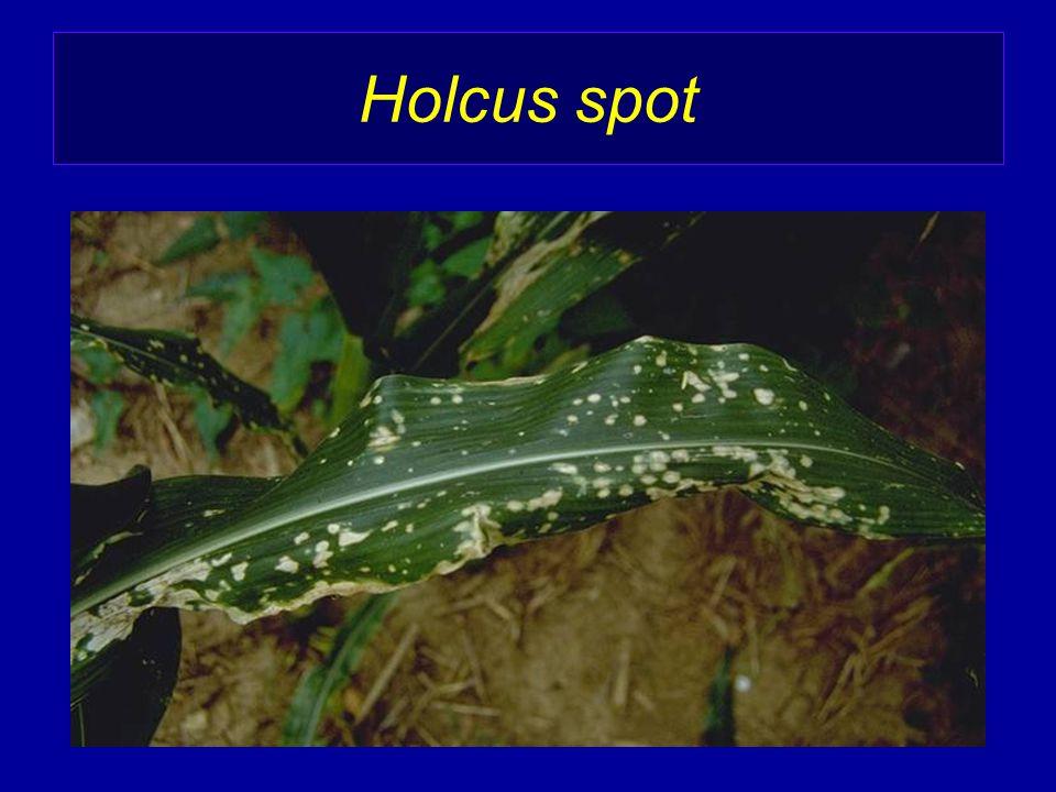 Holcus spot