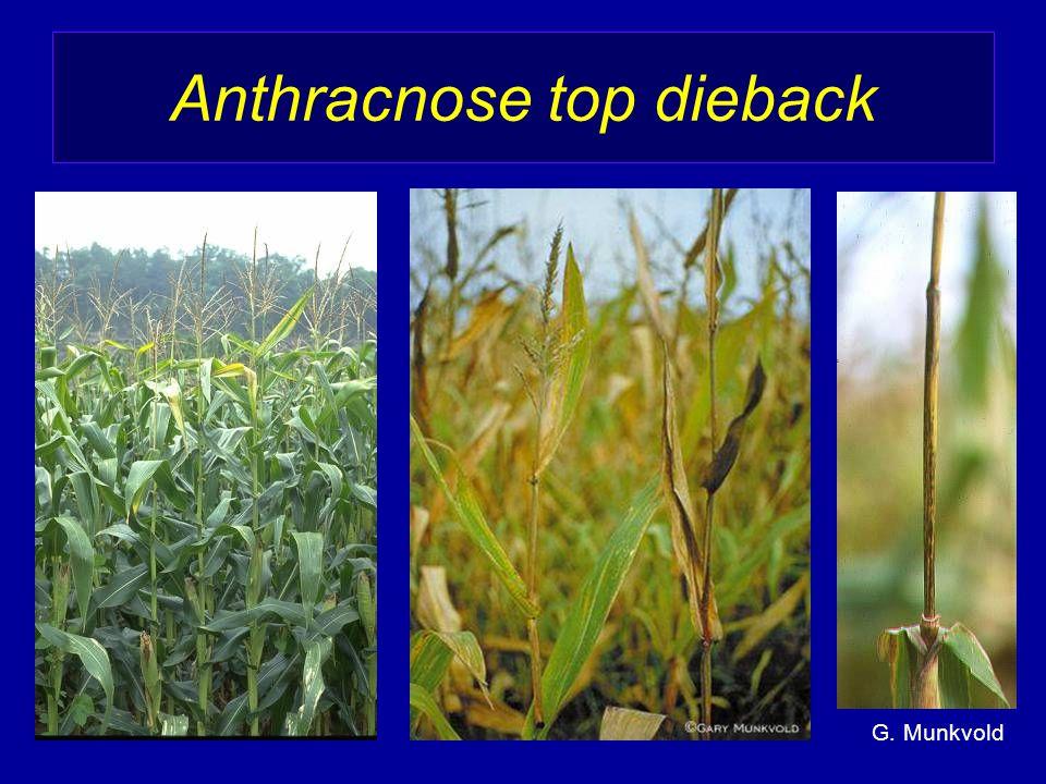 Anthracnose top dieback G. Munkvold
