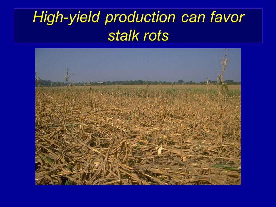 High-yield production can favor stalk rots