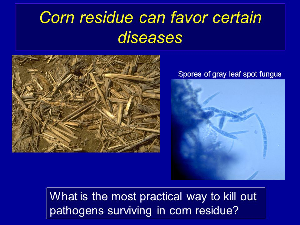 Corn residue can favor certain diseases What is the most practical way to kill out pathogens surviving in corn residue.
