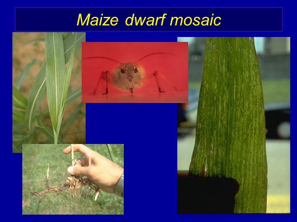 Maize dwarf mosaic