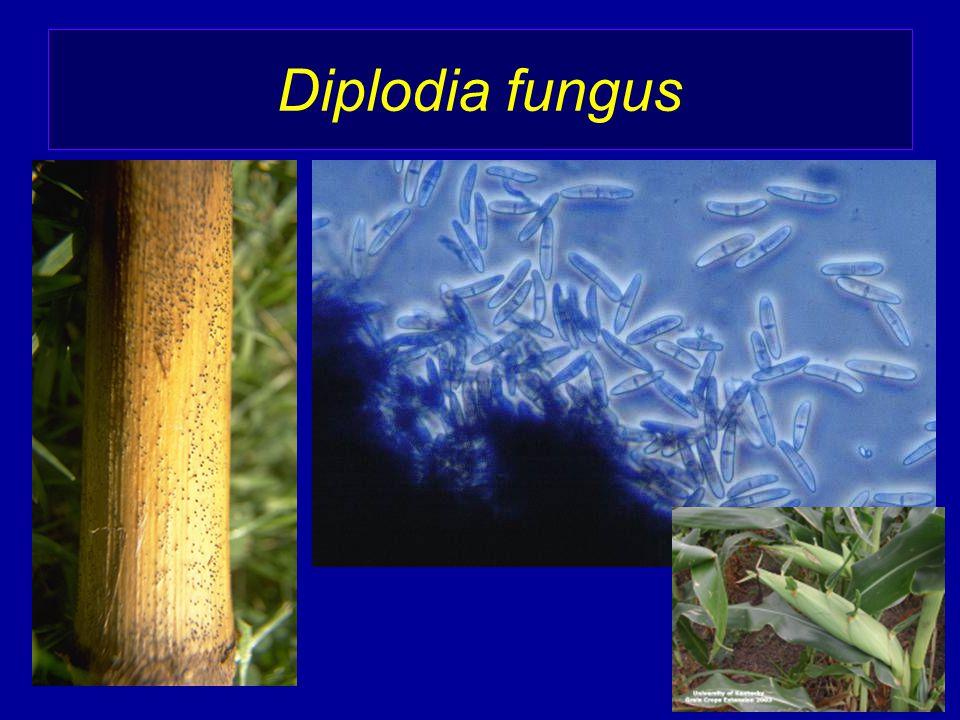 Diplodia fungus