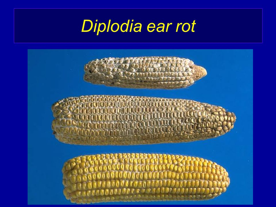 Diplodia ear rot