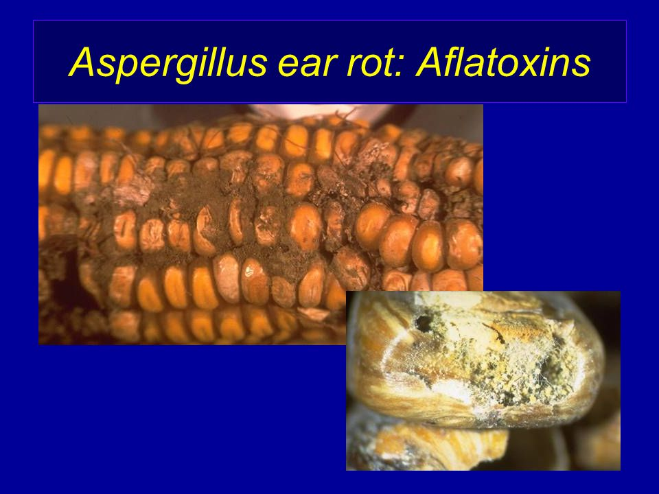 Aspergillus ear rot: Aflatoxins