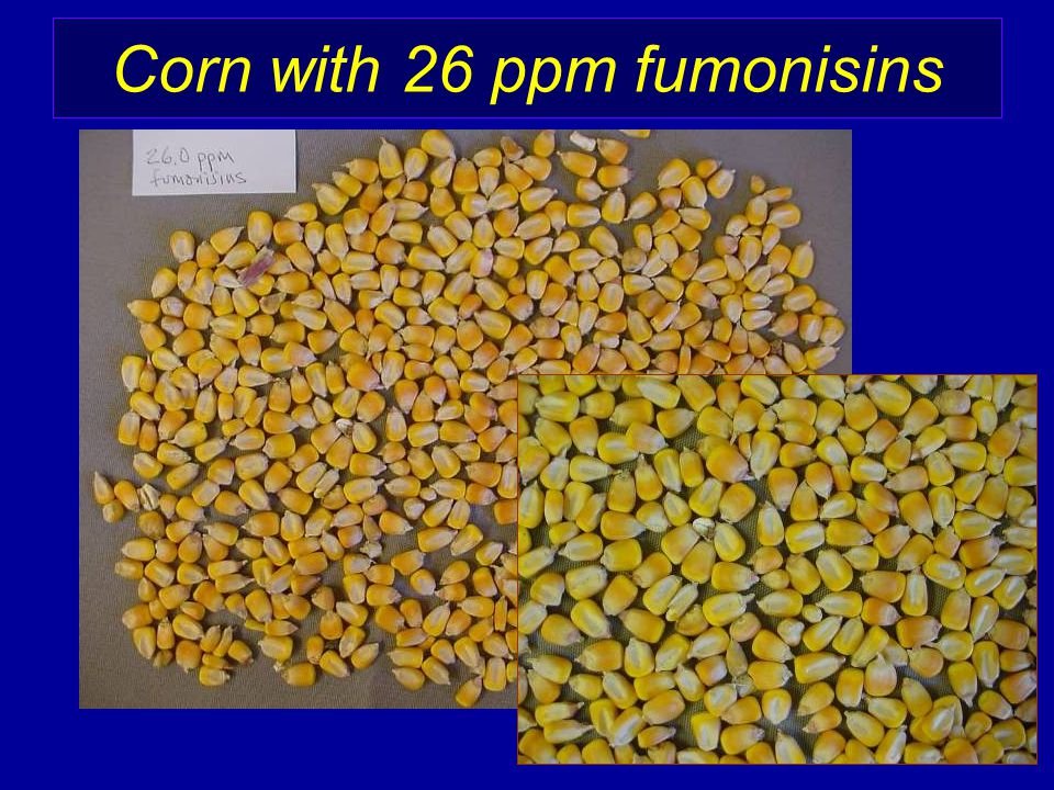 Corn with 26 ppm fumonisins