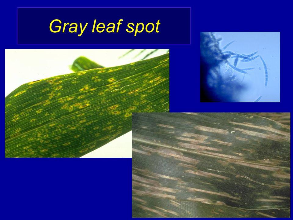 Gray leaf spot