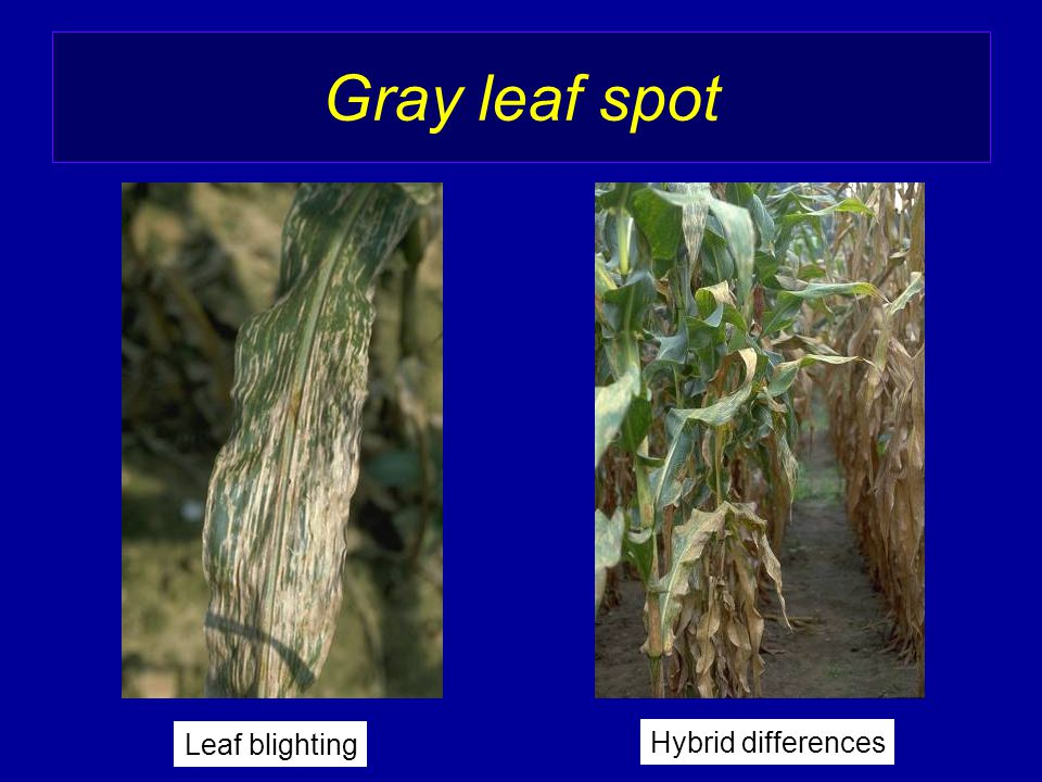 Hybrid differences Leaf blighting