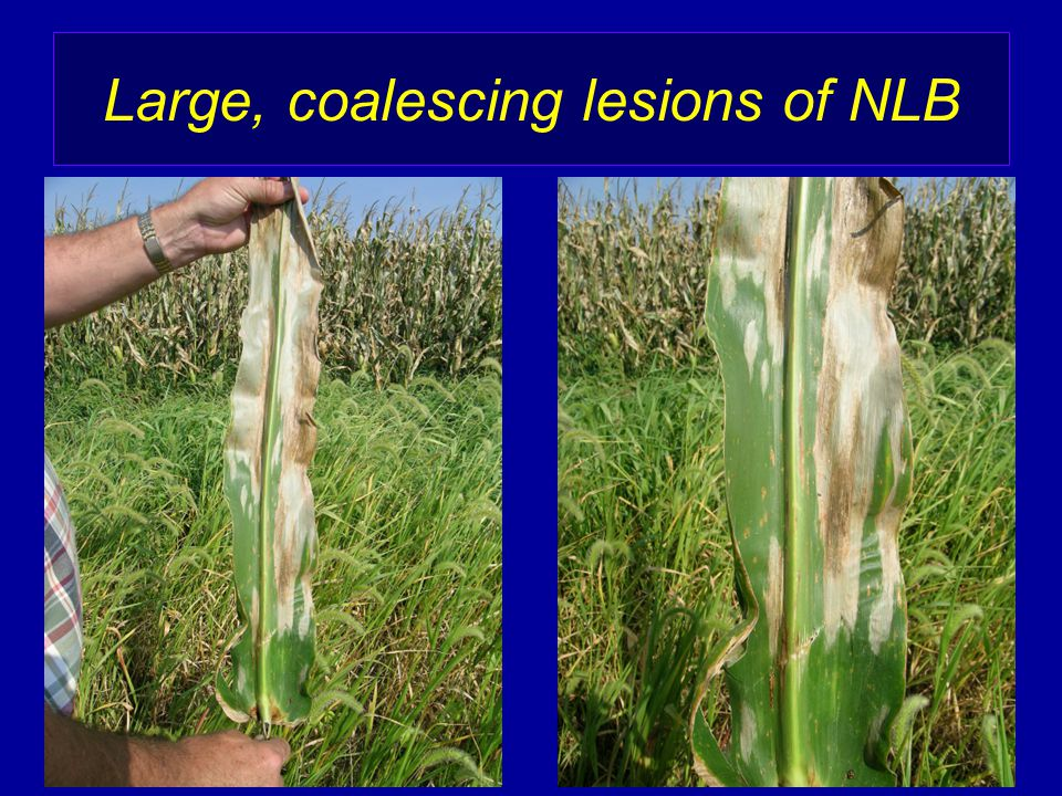 Large, coalescing lesions of NLB