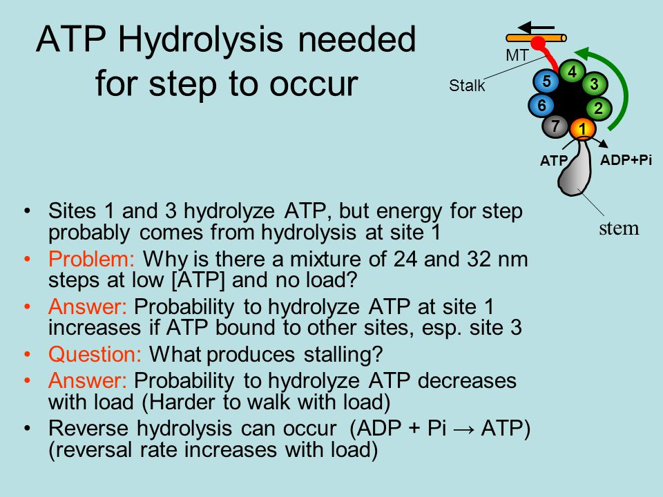 ATP Hydrolysis needed for step to occur Sites 1 and 3 hydrolyze ATP, but energy for step probably comes from hydrolysis at site 1 Problem: Why is there a mixture of 24 and 32 nm steps at low [ATP] and no load.