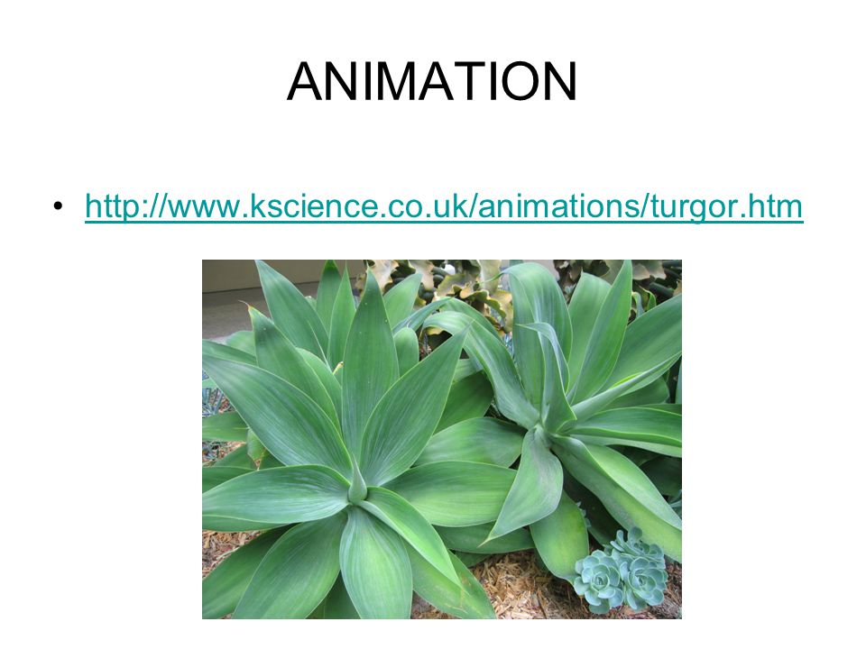 ANIMATION http://www.kscience.co.uk/animations/turgor.htm