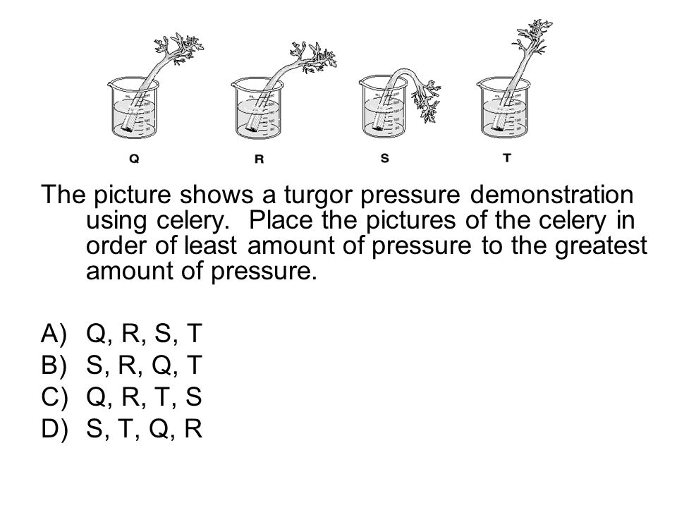 The picture shows a turgor pressure demonstration using celery. Place the pictures of the celery in order of least amount of pressure to the greatest