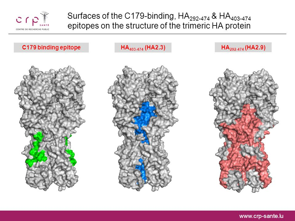 www.crp-sante.lu Surfaces of the C179-binding, HA 292-474 & HA 403-474 epitopes on the structure of the trimeric HA protein C179 binding epitope HA 403-474 (HA2.3) HA 292-474 (HA2.9)