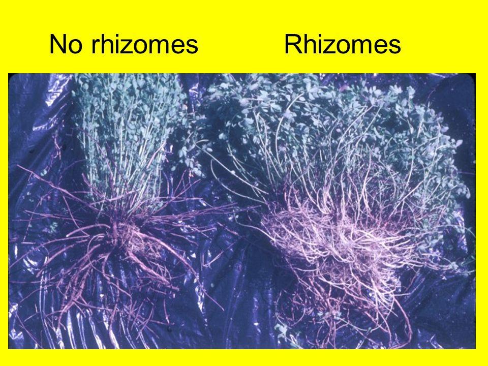 No rhizomes Rhizomes