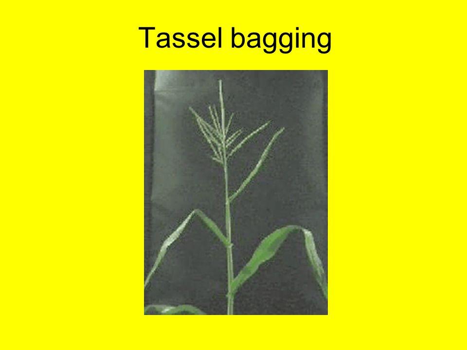 Tassel bagging