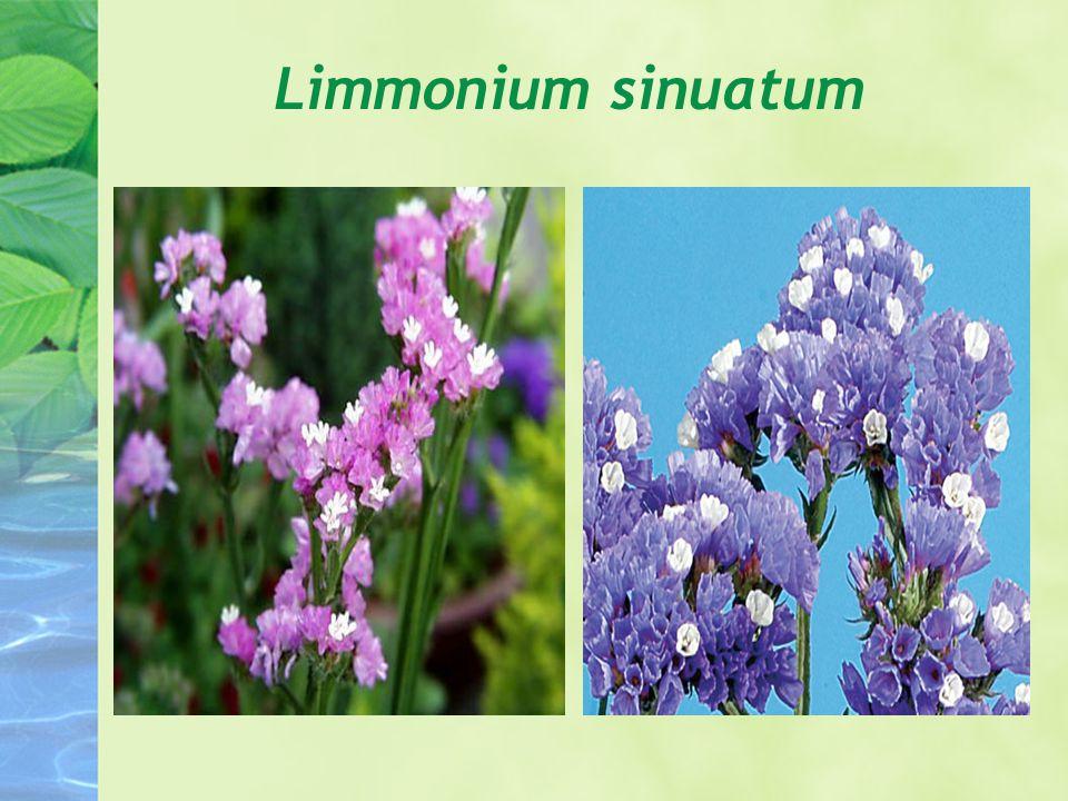 Limmonium sinuatum