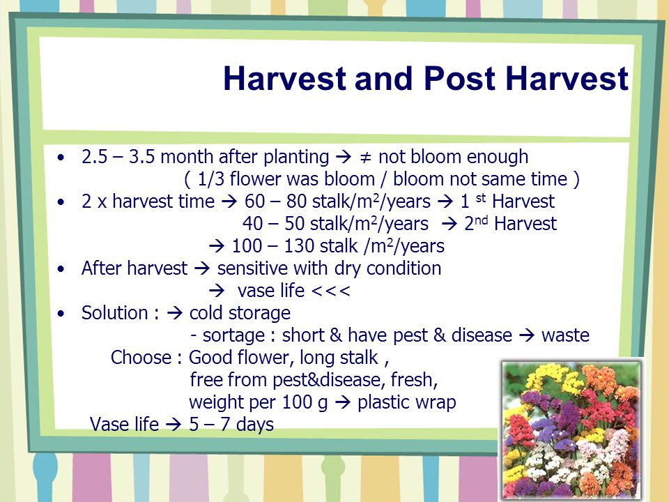 Harvest and Post Harvest 2.5 – 3.5 month after planting  ≠ not bloom enough ( 1/3 flower was bloom / bloom not same time ) 2 x harvest time  60 – 80 stalk/m 2 /years  1 st Harvest 40 – 50 stalk/m 2 /years  2 nd Harvest  100 – 130 stalk /m 2 /years After harvest  sensitive with dry condition  vase life <<< Solution :  cold storage - sortage : short & have pest & disease  waste Choose : Good flower, long stalk, free from pest&disease, fresh, weight per 100 g  plastic wrap Vase life  5 – 7 days