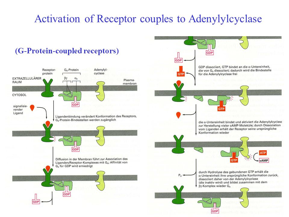 Activation of Receptor couples to Adenylylcyclase Bild (G-Protein-coupled receptors)