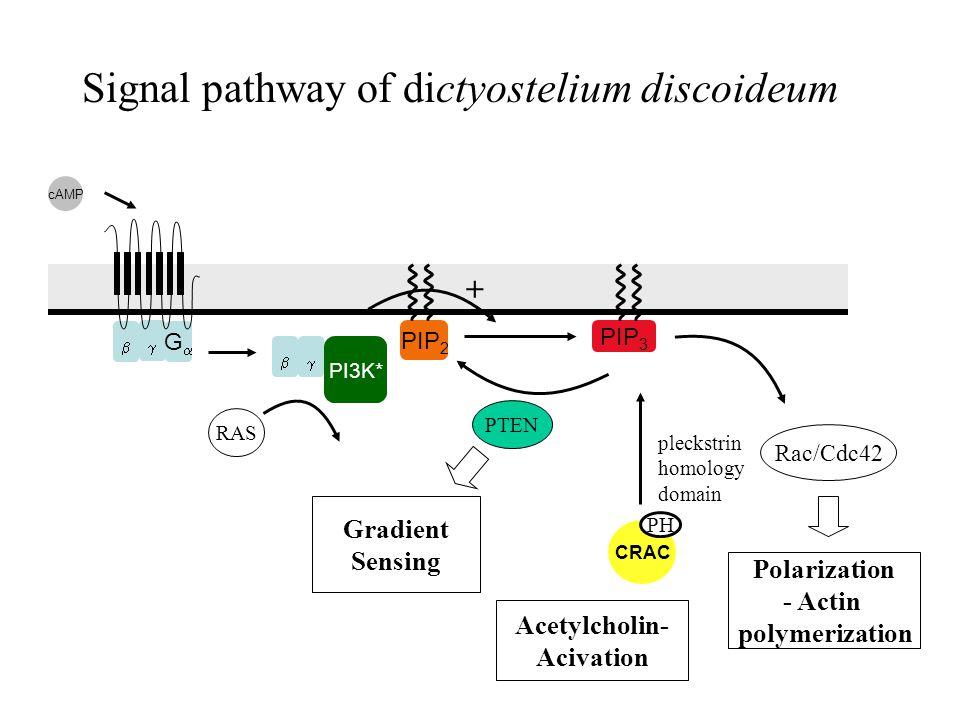   GG Signal pathway of dictyostelium discoideum PIP 2 PIP 3 CRAC cAMP PI3K*  PH PTEN Rac/Cdc42 Polarization - Actin polymerization RAS Gradient Sensing pleckstrin homology domain + Acetylcholin- Acivation