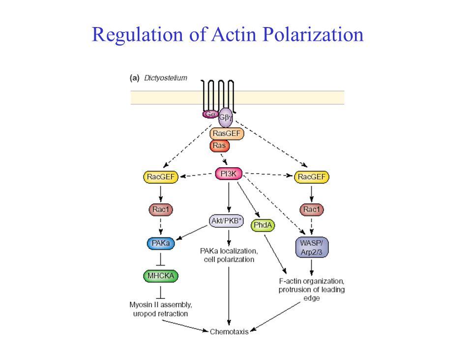 Regulation of Actin Polarization