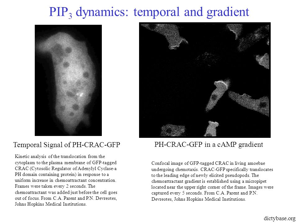 PIP 3 dynamics: temporal and gradient Temporal Signal of PH-CRAC-GFP PH-CRAC-GFP in a cAMP gradient dictybase.org Kinetic analysis of the translocation from the cytoplasm to the plasma membrane of GFP-tagged CRAC (Cytosolic Regulator of Adenylyl Cyclase-a PH domain containing protein) in response to a uniform increase in chemoattractant concentration.