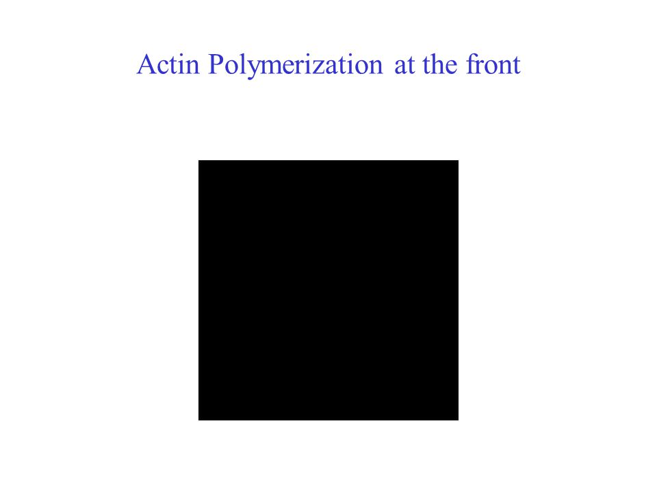 Actin Polymerization at the front
