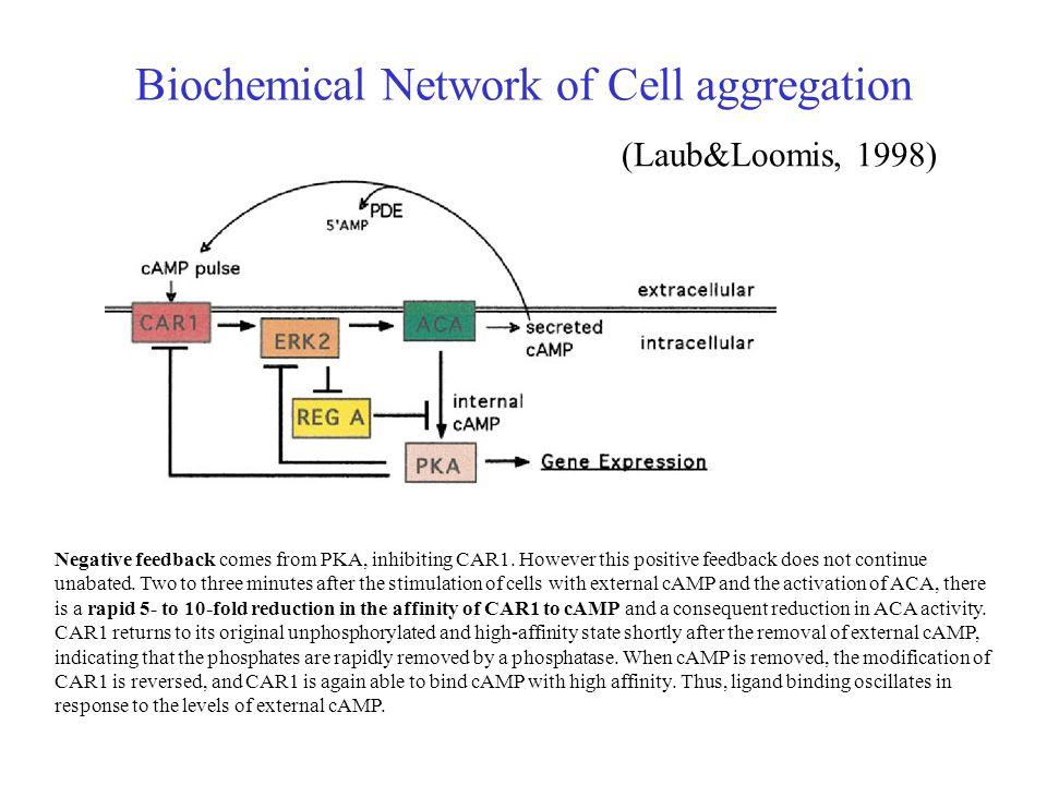 (Laub&Loomis, 1998) Negative feedback comes from PKA, inhibiting CAR1.