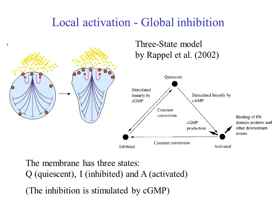 Local activation - Global inhibition Three-State model by Rappel et al.