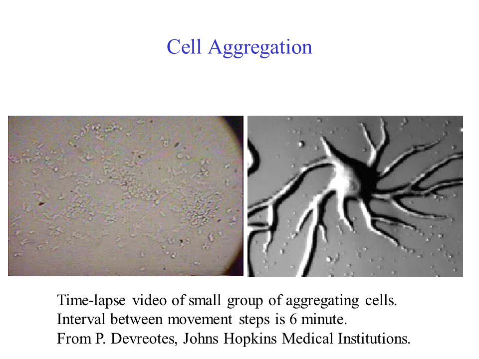 Cell Aggregation Time-lapse video of small group of aggregating cells.