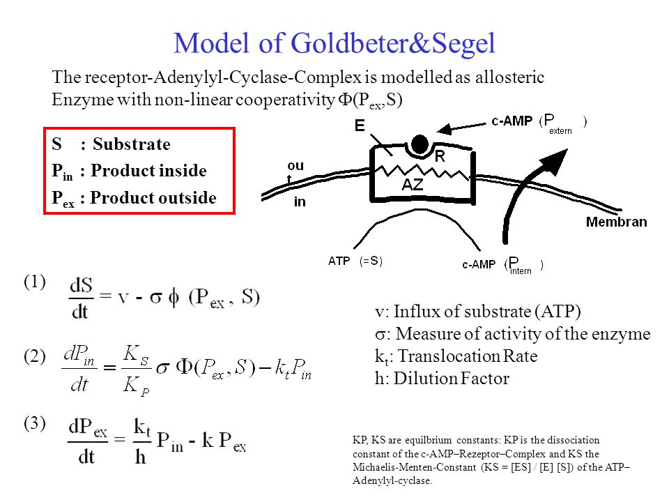 Model of Goldbeter&Segel S : Substrate P in : Product inside P ex : Product outside (1) (2) (3) The receptor-Adenylyl-Cyclase-Complex is modelled as allosteric Enzyme with non-linear cooperativity  (P ex,S) v: Influx of substrate (ATP)  : Measure of activity of the enzyme k t : Translocation Rate h: Dilution Factor KP, KS are equilbrium constants: KP is the dissociation constant of the c-AMP–Rezeptor–Complex and KS the Michaelis-Menten-Constant (KS = [ES] / [E] [S]) of the ATP– Adenylyl-cyclase.