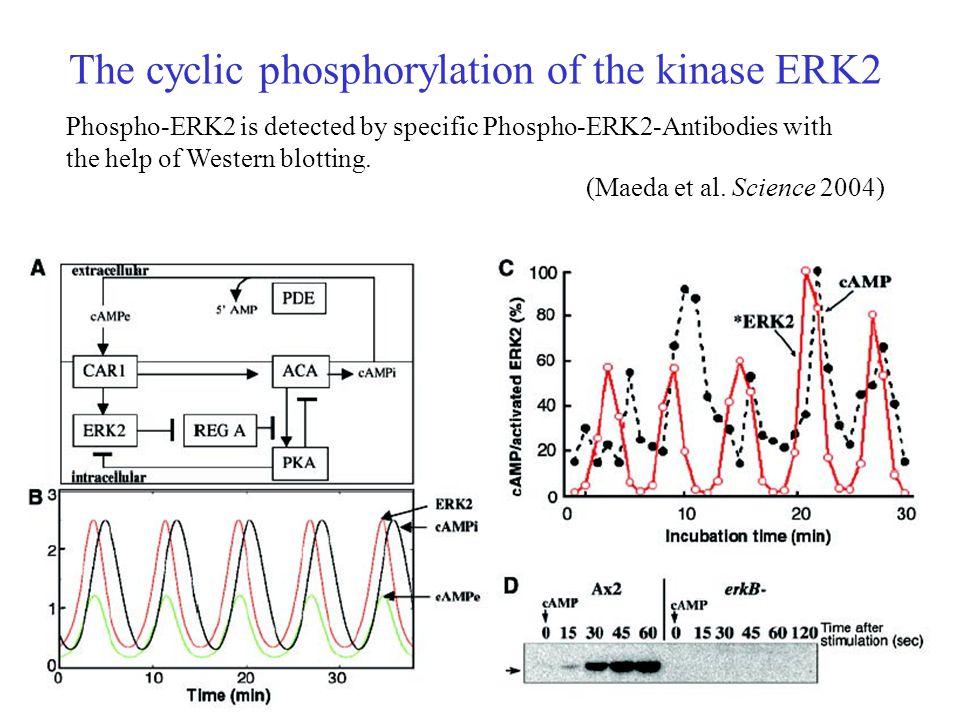 The cyclic phosphorylation of the kinase ERK2 Phospho-ERK2 is detected by specific Phospho-ERK2-Antibodies with the help of Western blotting.