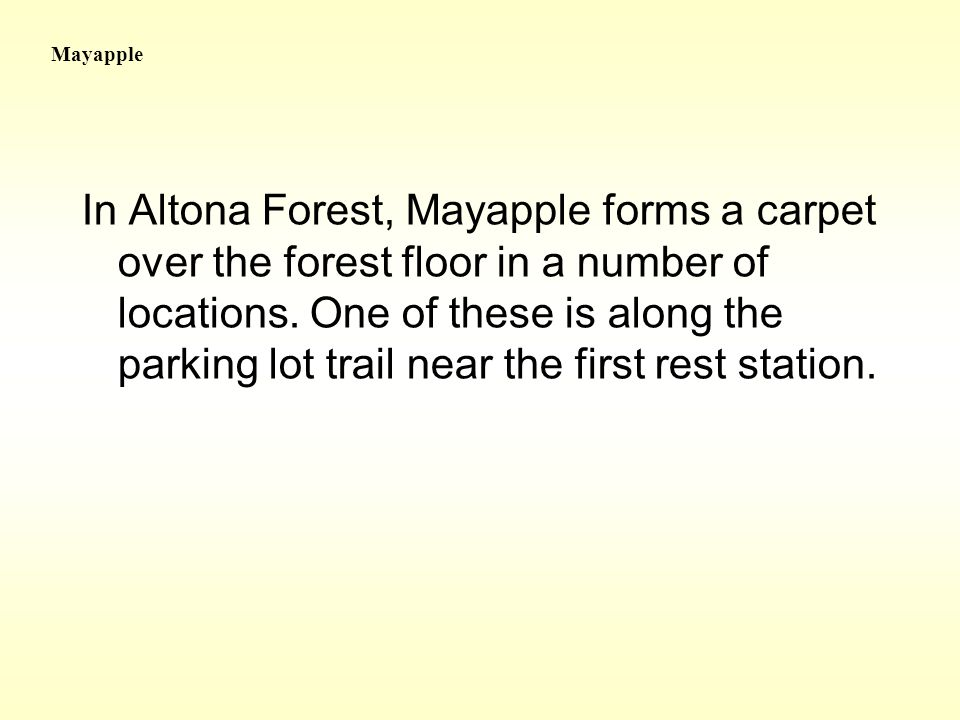In Altona Forest, Mayapple forms a carpet over the forest floor in a number of locations.