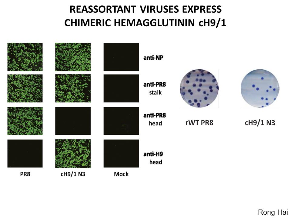 REASSORTANT VIRUSES EXPRESS CHIMERIC HEMAGGLUTININ cH9/1 Rong Hai