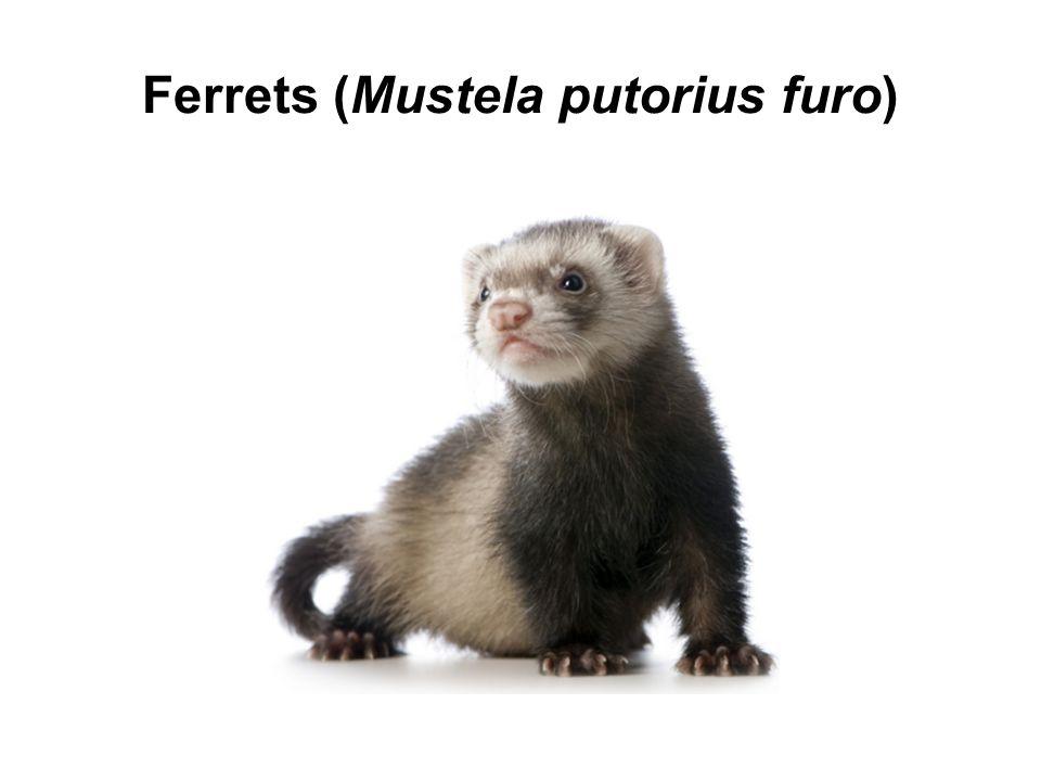 Ferrets (Mustela putorius furo)