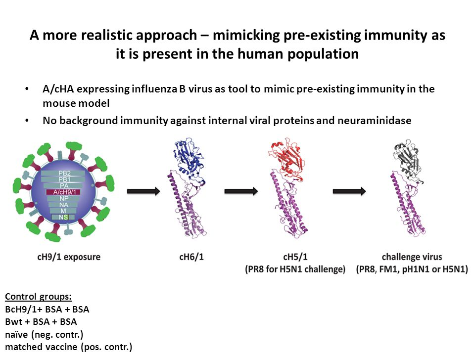 A more realistic approach – mimicking pre-existing immunity as it is present in the human population A/cHA expressing influenza B virus as tool to mimic pre-existing immunity in the mouse model No background immunity against internal viral proteins and neuraminidase Control groups: BcH9/1+ BSA + BSA Bwt + BSA + BSA naïve (neg.