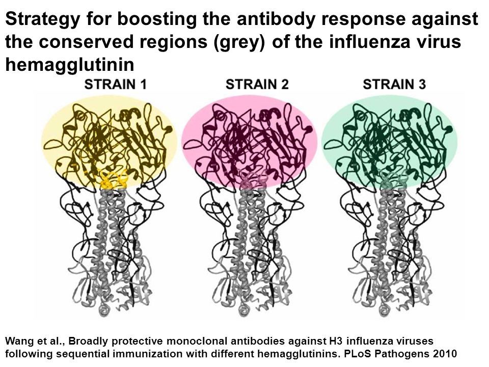 Strategy for boosting the antibody response against the conserved regions (grey) of the influenza virus hemagglutinin Wang et al., Broadly protective monoclonal antibodies against H3 influenza viruses following sequential immunization with different hemagglutinins.
