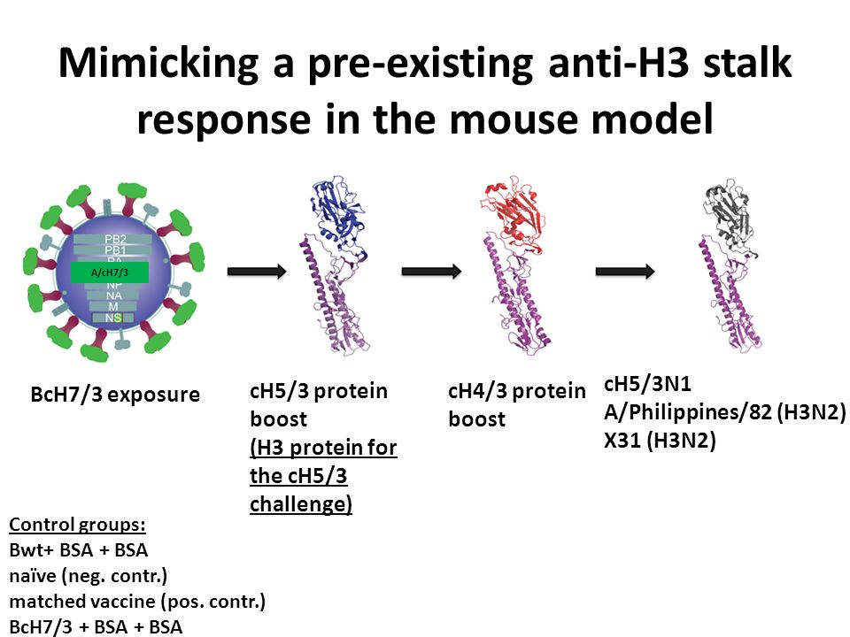 Mimicking a pre-existing anti-H3 stalk response in the mouse model A/cH7/3 BcH7/3 exposure cH5/3 protein boost (H3 protein for the cH5/3 challenge) cH4/3 protein boost cH5/3N1 A/Philippines/82 (H3N2) X31 (H3N2) Control groups: Bwt+ BSA + BSA naïve (neg.