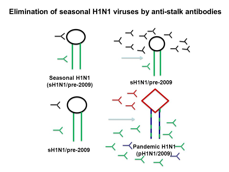 Seasonal H1N1 (sH1N1/pre-2009) sH1N1/pre-2009 Pandemic H1N1 (pH1N1/2009) Elimination of seasonal H1N1 viruses by anti-stalk antibodies