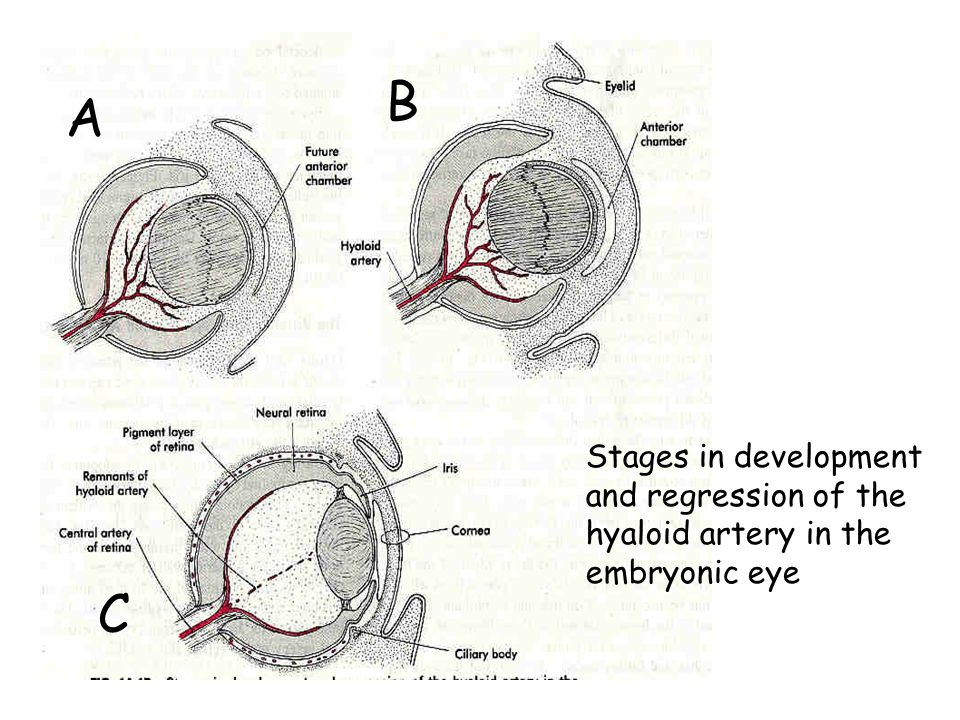 A B C Stages in development and regression of the hyaloid artery in the embryonic eye