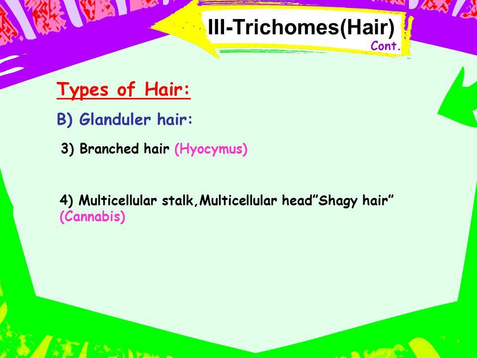 "III-Trichomes(Hair) Types of Hair: B) Glanduler hair: 4) Multicellular stalk,Multicellular head""Shagy hair"" (Cannabis) 3) Branched hair (Hyocymus) Con"