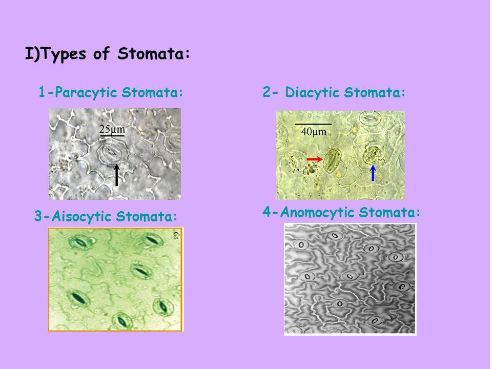 I)Types of Stomata: 1-Paracytic Stomata:2- Diacytic Stomata: 3-Aisocytic Stomata: 4-Anomocytic Stomata: