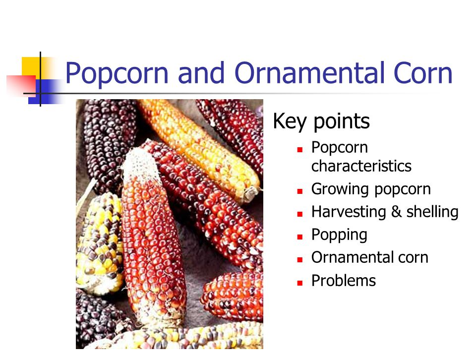 Popcorn and Ornamental Corn Key points Popcorn characteristics Growing popcorn Harvesting & shelling Popping Ornamental corn Problems